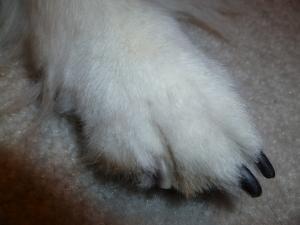 Bad Sheltie paw