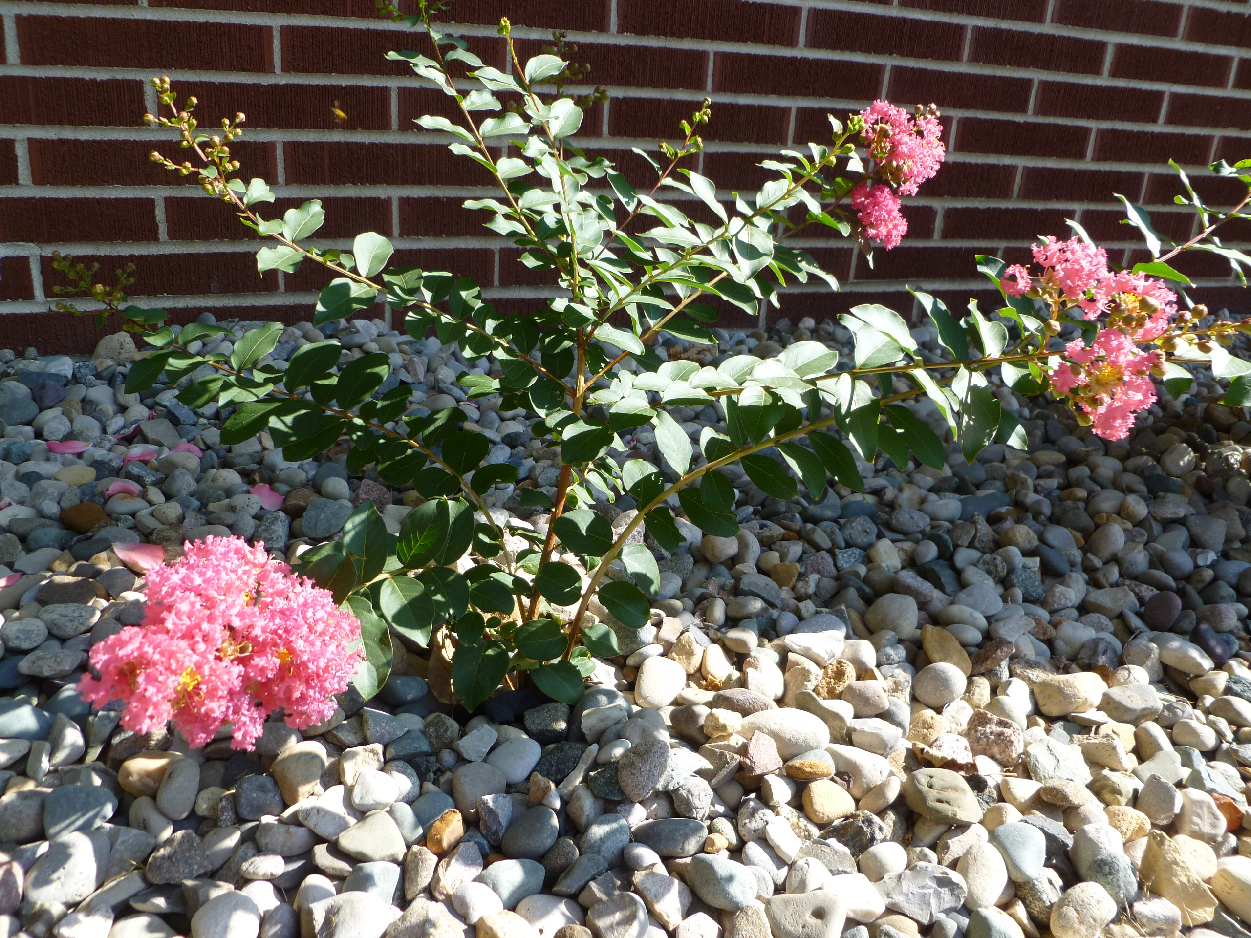 how to get a crepe myrtle to bloom