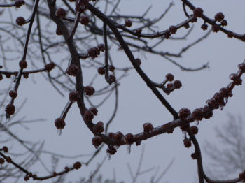 Ice covers the buds on this silver maple tree.