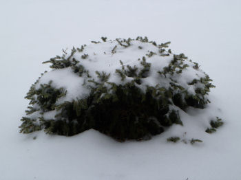 A snow-covered bush