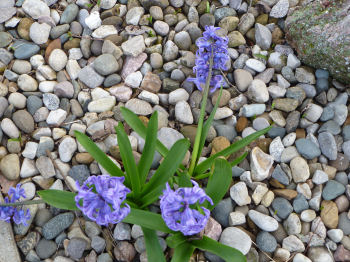 Blue hyacinths dot a neighbor's yard, wafting their perfume everywhere.