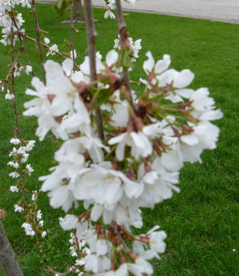 This is a closeup of the weeping cherry blossoms. I understand that when they die off, they're replaced by leaves.