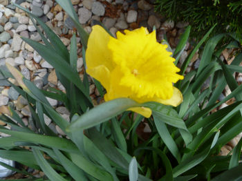 Yellow daffodils are in bloom.