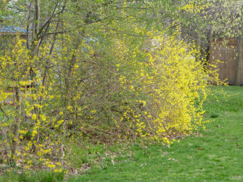 A yellow forsythia hedge.