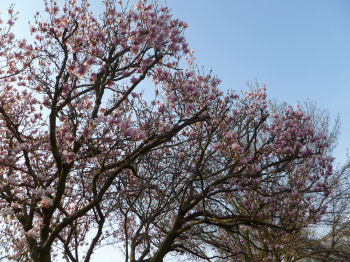 This magnolia tree is going to be splendid!