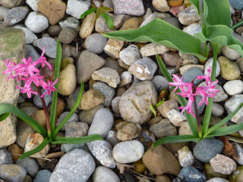 Hyacinths come in pink, too!