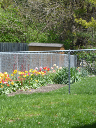 Fence row of colorful tulips