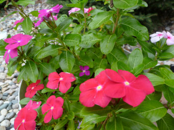 Colorful vinca.
