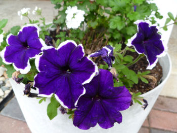 Purple petunias.