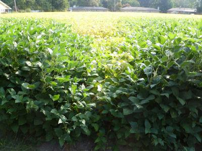 Soybean field, early Fall