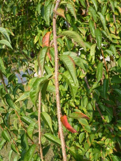 Cherry tree, early Fall