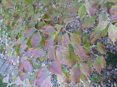 Dogwood, early Fall