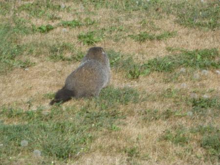It's a varmint!
