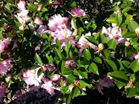 Light pink Camellia Sasanqua