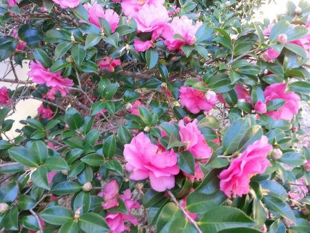 Deep pink Camellia Sasanqua