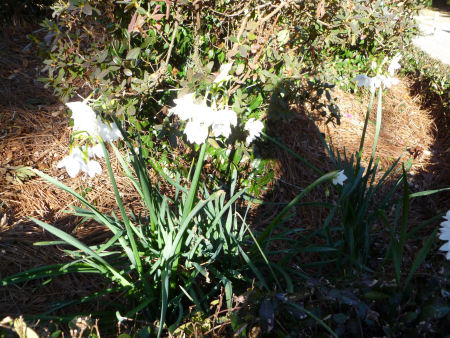 Paperwhites, an early harbinger of Spring