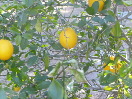 Might this be a lemon tree, or are these oranges or grapefruit??