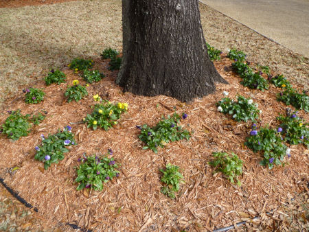 Pansies sprouting up around trees