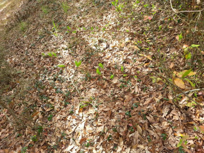 Tiny green Forsythia (?) leaves emerge