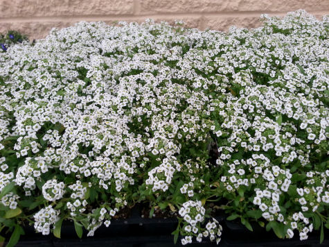 Fragrant sweet Alyssum makes an ideal border or ground cover.