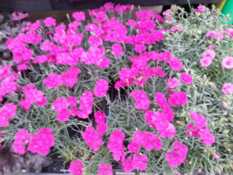 Deer resistant, drought tolerant Pink Dianthus makes for a beautiful garden flower.