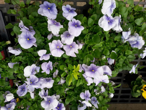 Fast-growing pansies do best in full sun.