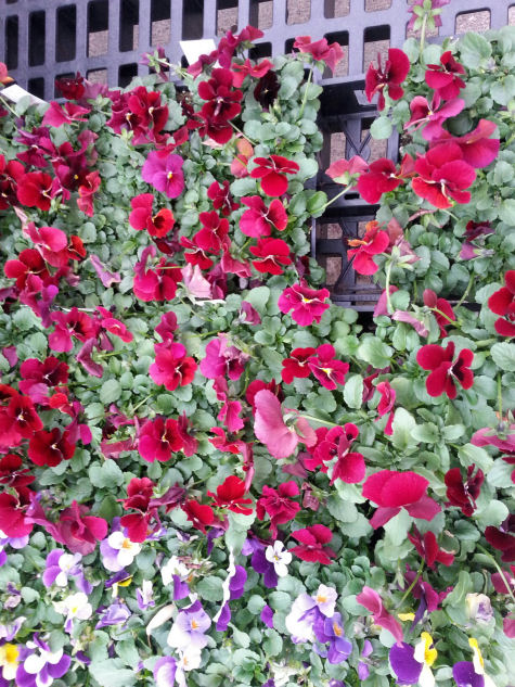 Deep red pansies are ready for planting.