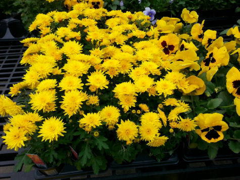 Sunny yellow mums and pansies.