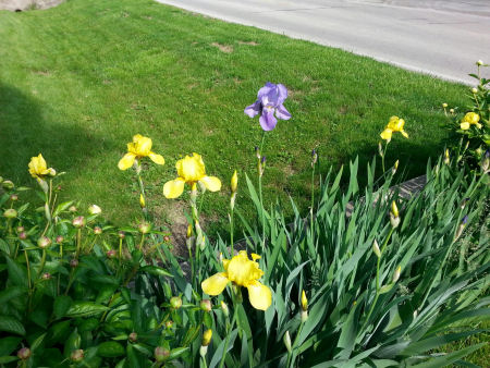 Purple iris standing out from a sea of yellow