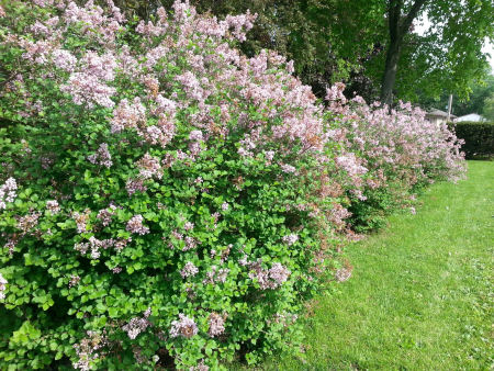 I think these are lilacs -- the scent is intoxicating!