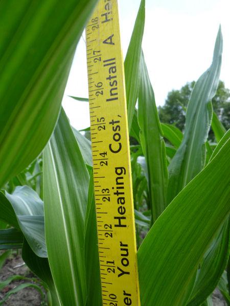 Closeup of corn measurement