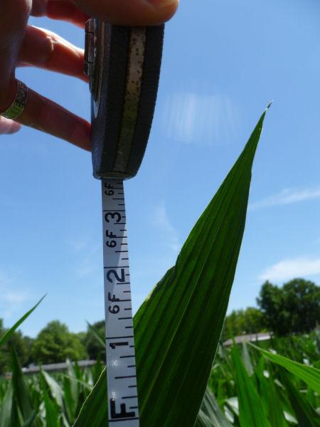 Corn, June 21, 2014