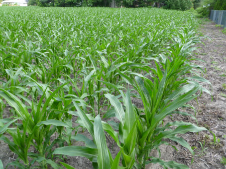 Corn plants growing in rows