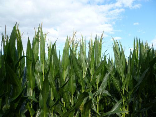 Corn, July 3, 2014