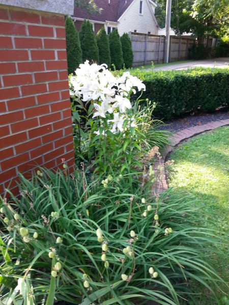 Profusion of white lilies