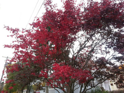 Japanese maple turning crimson