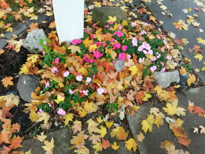 These Impatiens are wearing a coat of leaves