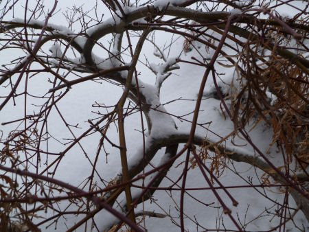 Japanese maple branches covered in snow