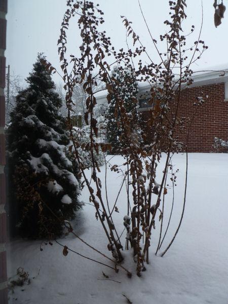 Snowy crepe myrtle