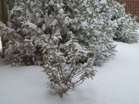Snow-covered holly