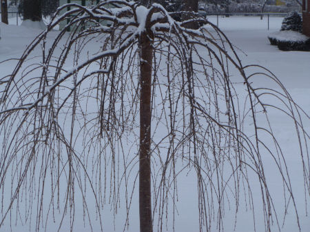 Snowy weeping cherry tree