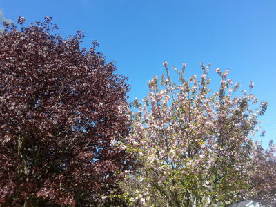 Not sure what these trees are, but I thought they looked pretty against the blue sky.