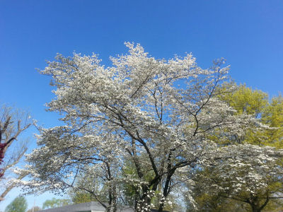 Flowering white dogwood