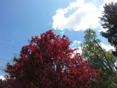 Crimson tree against partly cloudy sky