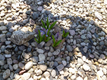 Hyacinths emerging from a long winter's nap.
