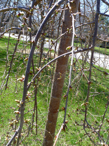 A weeping cherry that soon will be covered in delicate white blossoms.