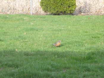 Last but not least -- everybody's favorite sign of Spring -- the robins are back!