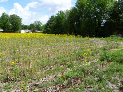 Even a field of yellow weeds can be pretty!