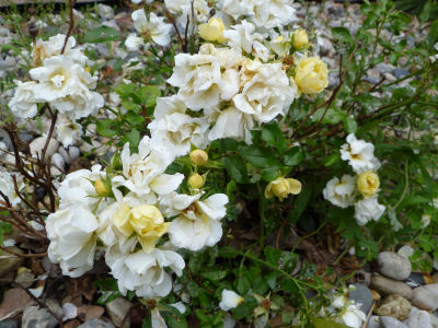 "This ""popcorn rose"" features white and yellow blossoms."