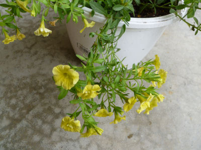 Not sure what this is called, but I like its pale yellow flowers.
